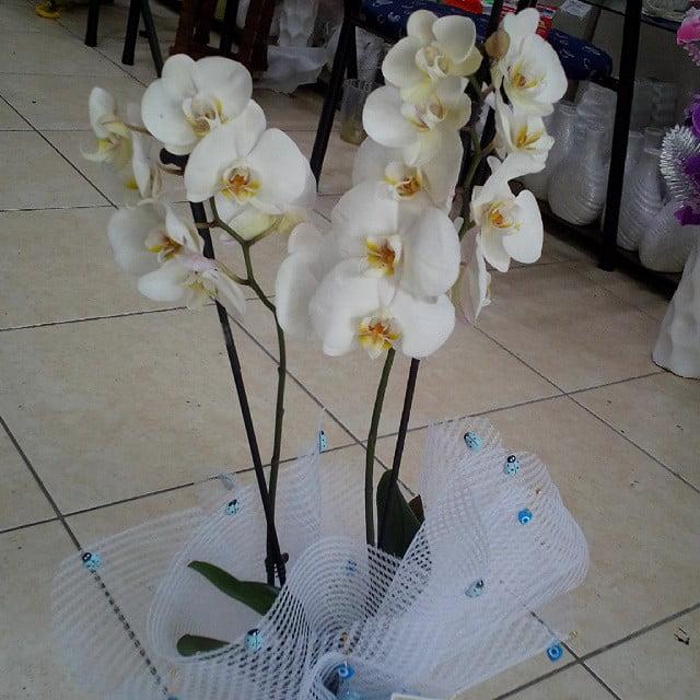 Phalaenopsis beyaz orkide