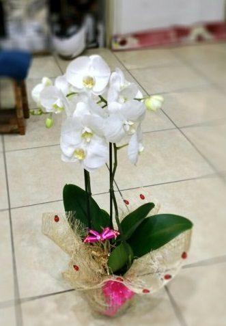 Phalaenopsis Orkide Çiçeği ( 2 Dal)