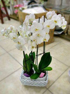 phalaenopsis-orkide-2-adet-2-dalli-beyaz-isparta-cicekci