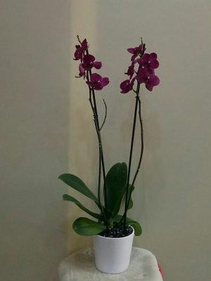 seramik saksıdaorta boy 2 li  orkide yi ısparta  yiğitbaşı çiçek il merkezi ve ilçe siparişlerinizi zamanında  teslim eder